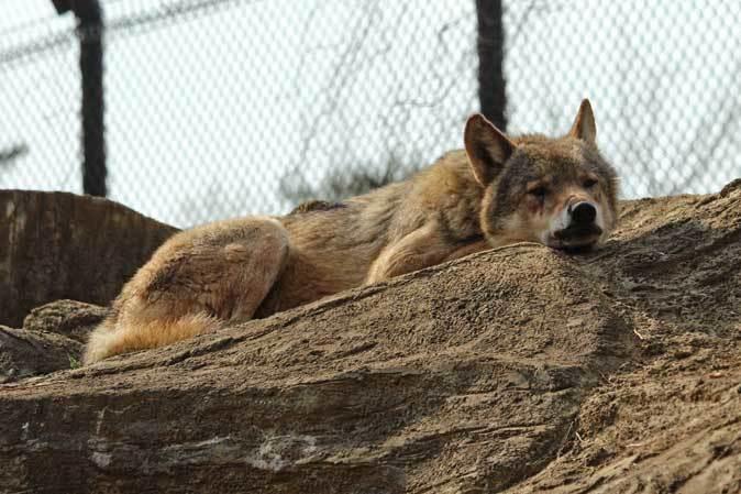 春のオオカミたち~ありがとうロト(多摩動物公園 April 2019)_b0355317_22361530.jpg