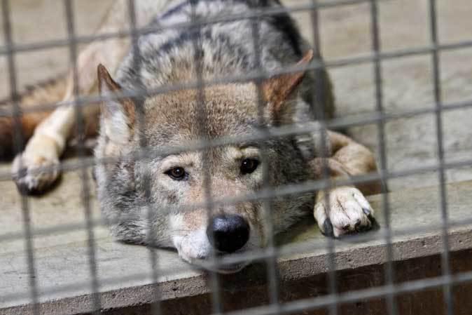 春のオオカミたち~ありがとうロト(多摩動物公園 April 2019)_b0355317_22482356.jpg