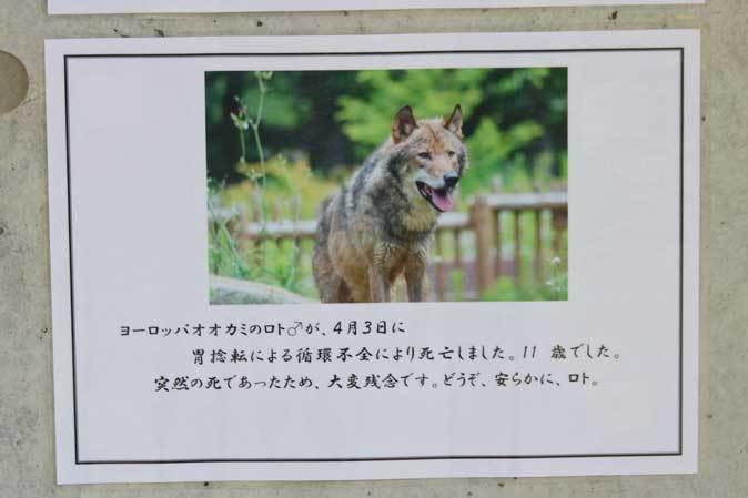 春のオオカミたち~ありがとうロト(多摩動物公園 April 2019)_b0355317_22491388.jpg