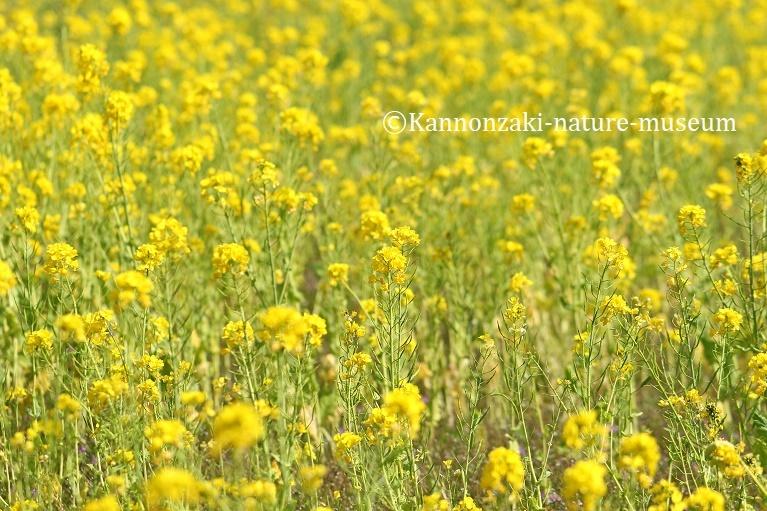 春らしい日の観音崎公園(2020年3月)_a0386621_13522991.jpg