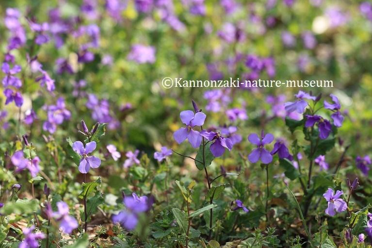 春らしい日の観音崎公園(2020年3月)_a0386621_13525399.jpg