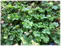 春が来て、スミレとシャムロックが満開に_d0221430_17233550.jpg