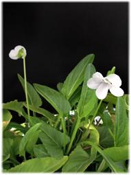 春が来て、スミレとシャムロックが満開に_d0221430_17245797.jpg