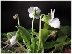 春が来て、スミレとシャムロックが満開に_d0221430_17253311.jpg
