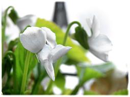 春が来て、スミレとシャムロックが満開に_d0221430_18003444.jpg