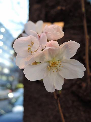 開花宣言!_c0062832_15190249.jpg