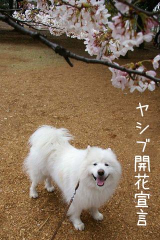 開花宣言!_c0062832_15213026.jpg