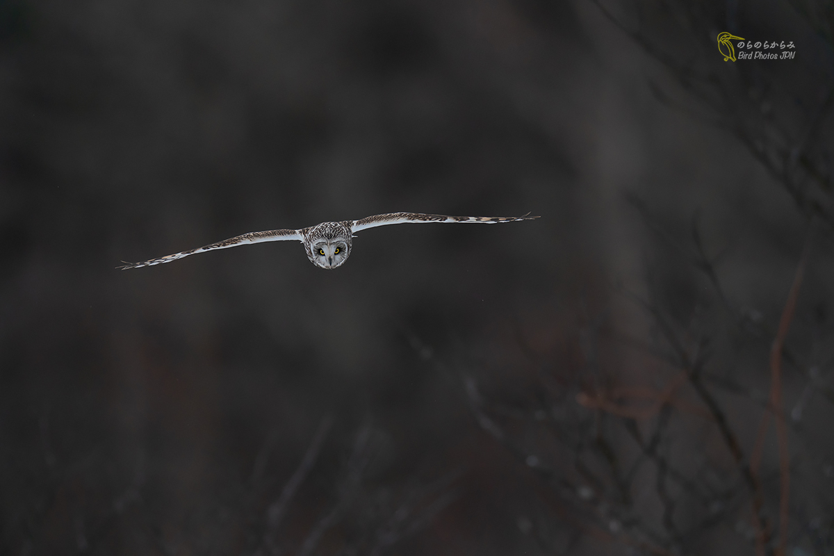 Exposure setting and developing for Short-eared Owl._d0360547_08081798.jpg