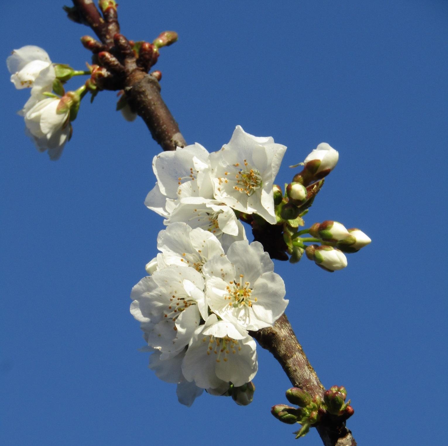 プルーンの花 咲く春_b0287748_03285053.jpg