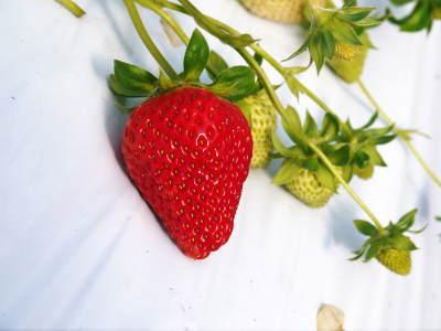 熊本イチゴ『熊紅(ゆうべに)』最旬です!美味しさにこだわり朝採り、即日発送で大好評販売中!_a0254656_16401800.jpg