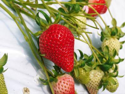 熊本イチゴ『熊紅(ゆうべに)』最旬です!美味しさにこだわり朝採り、即日発送で大好評販売中!_a0254656_16553402.jpg