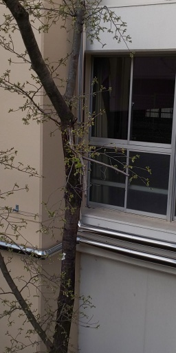 卒業式を待つ桜、一輪開花。 #山田パンダ思い出の場所~中学校体育館の裏_b0096957_08091669.jpg