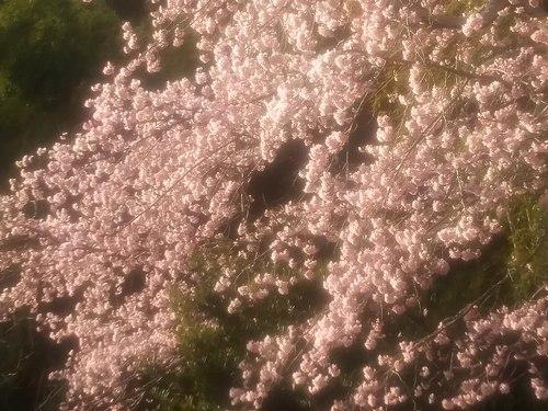 いつもと変わらない彼岸桜を見る_b0102572_16541405.jpg