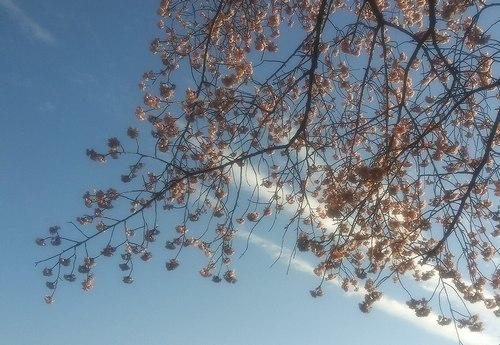 いつもと変わらない彼岸桜を見る_b0102572_16543103.jpg