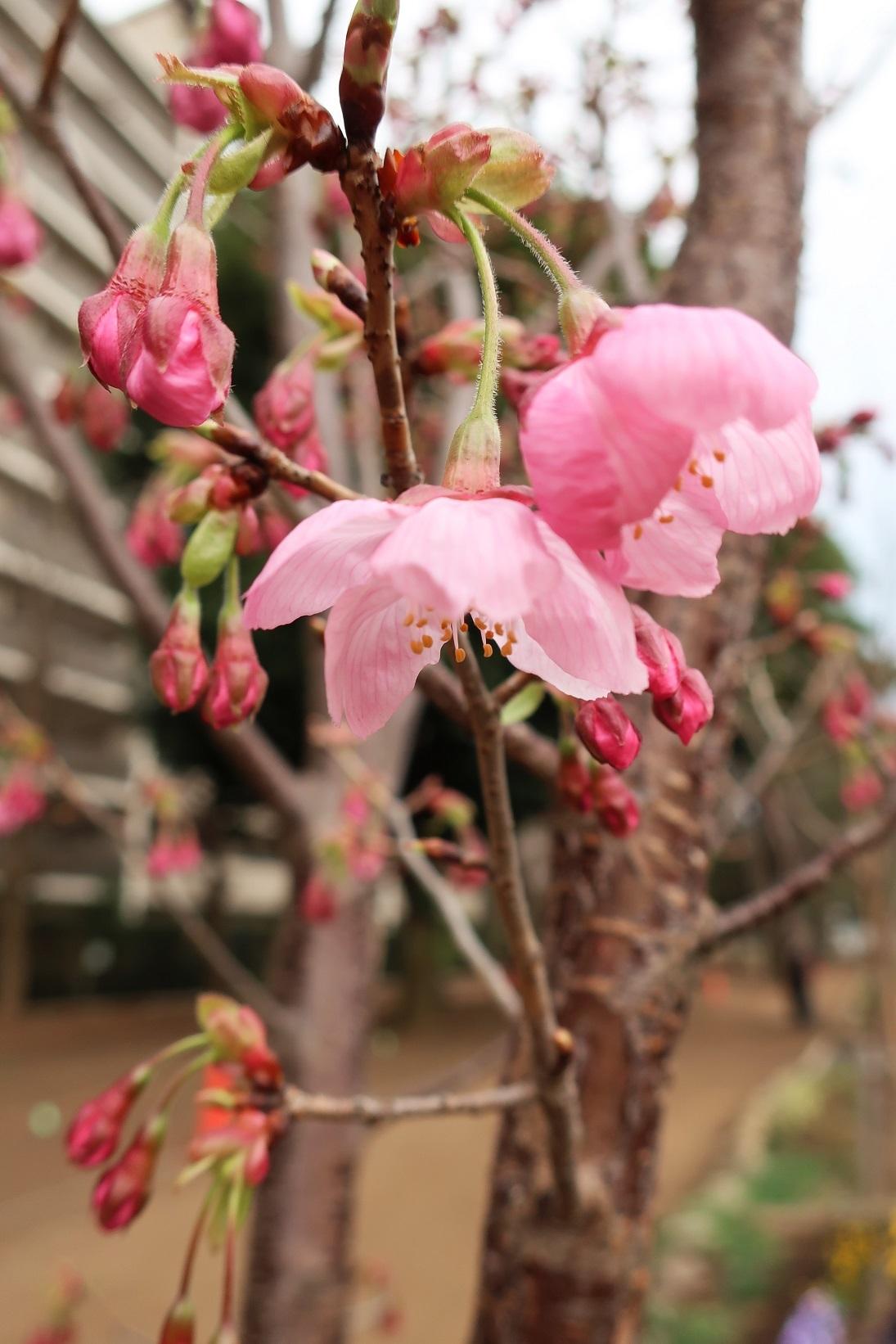 桜開花  ~ふじみ野市福岡中央公園~_a0107574_16420667.jpg