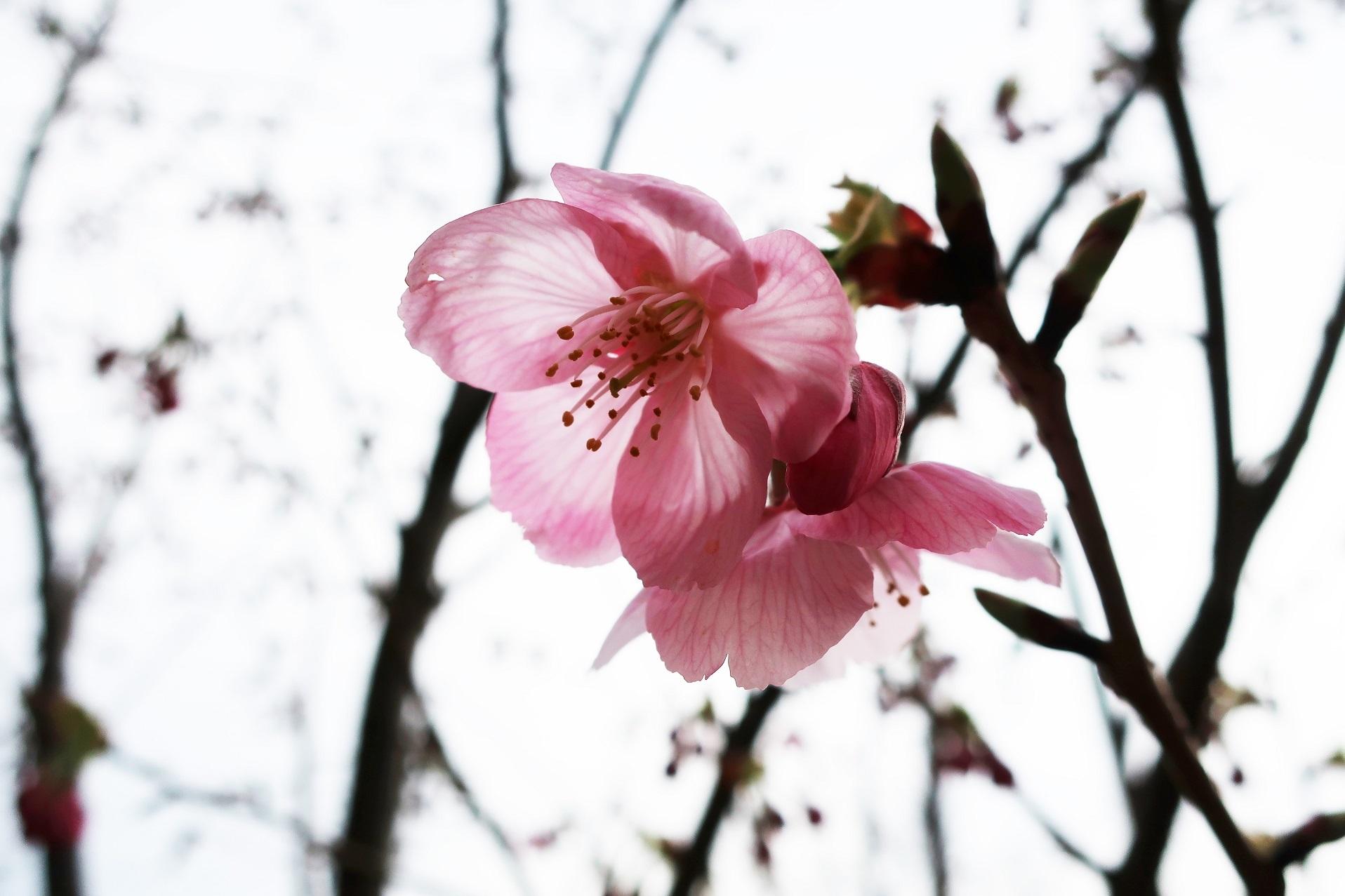 桜開花  ~ふじみ野市福岡中央公園~_a0107574_16421703.jpg