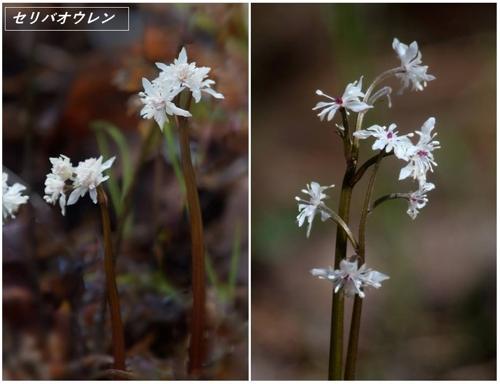 春の山野草2020(カタクリなど)_a0204089_621022.jpg