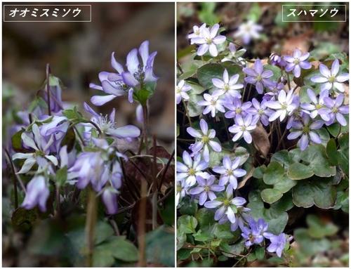 春の山野草2020(カタクリなど)_a0204089_622581.jpg