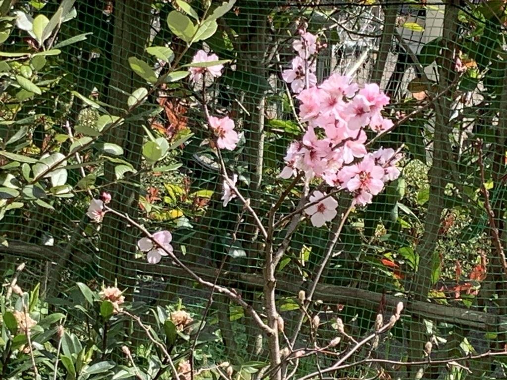 プルーンの花が咲きそう…_b0349795_15121469.jpeg