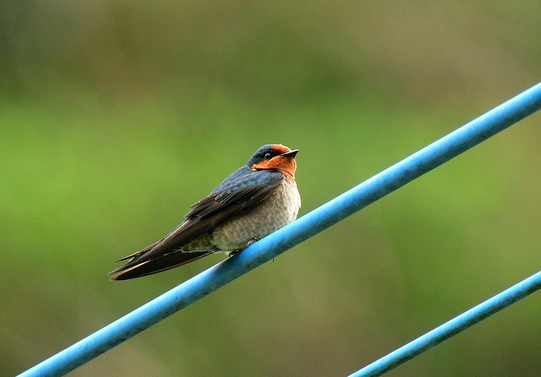 奄美大島:与路島の野鳥 ⑫_e0362696_16385338.jpg