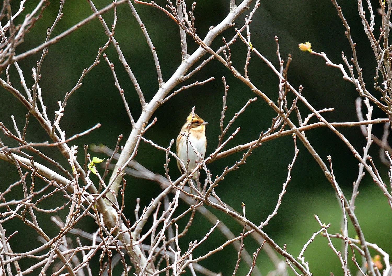 奄美大島:与路島の野鳥 ⑫_e0362696_16390315.jpg