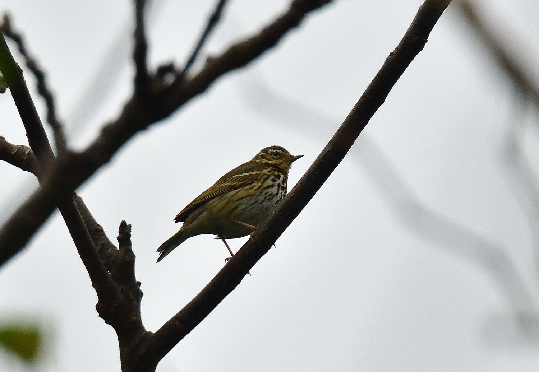 奄美大島:与路島の野鳥 ⑫_e0362696_16391378.jpg