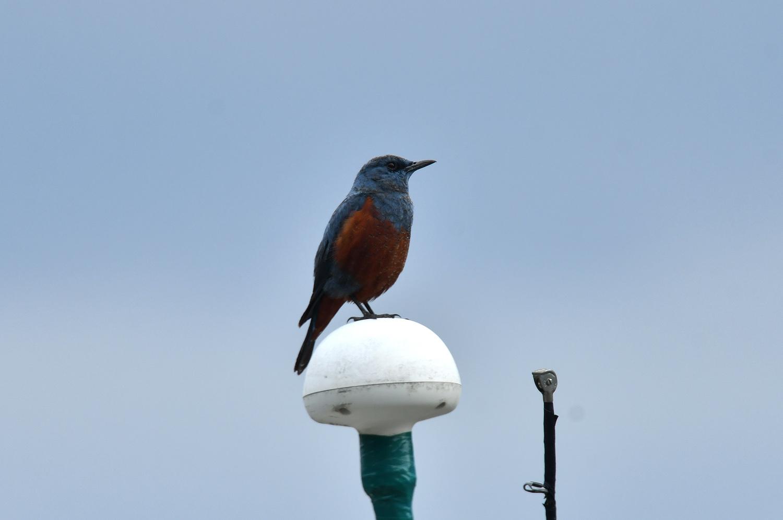 奄美大島:与路島の野鳥 ⑫_e0362696_16395176.jpg