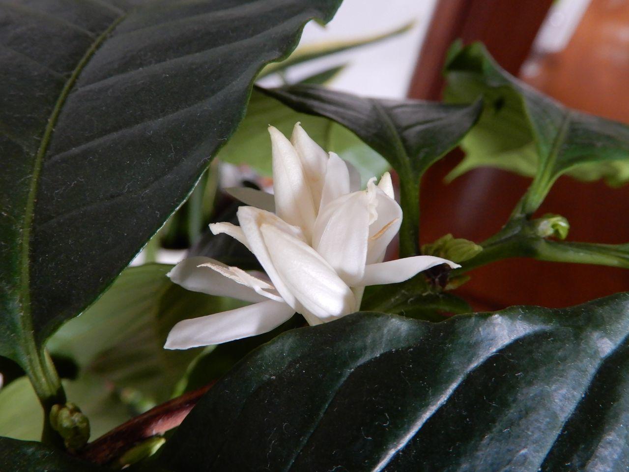 コーヒーの花が咲く春_c0025115_23193383.jpg