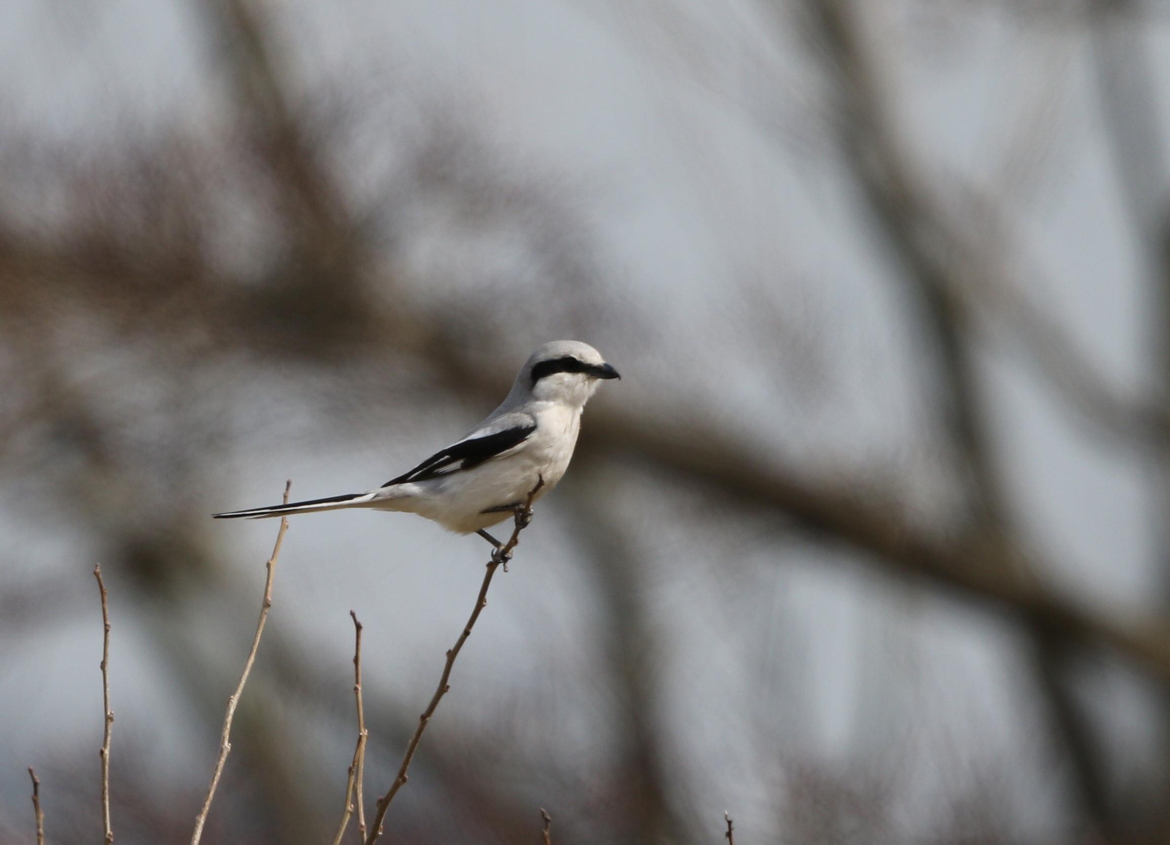 珍鳥オオカラモズに逢いに出かけてきました_f0239515_18371545.jpg