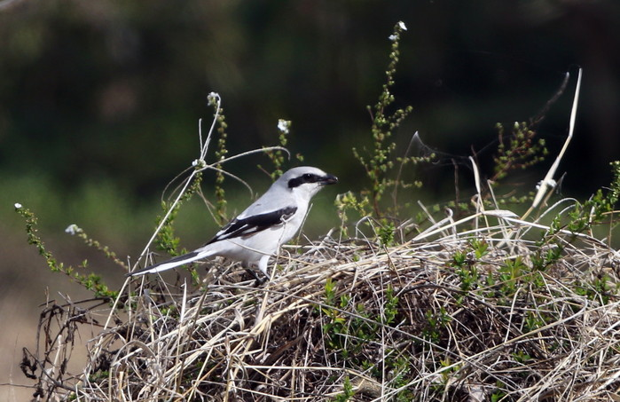 珍鳥オオカラモズに逢いに出かけてきました_f0239515_18384491.jpg