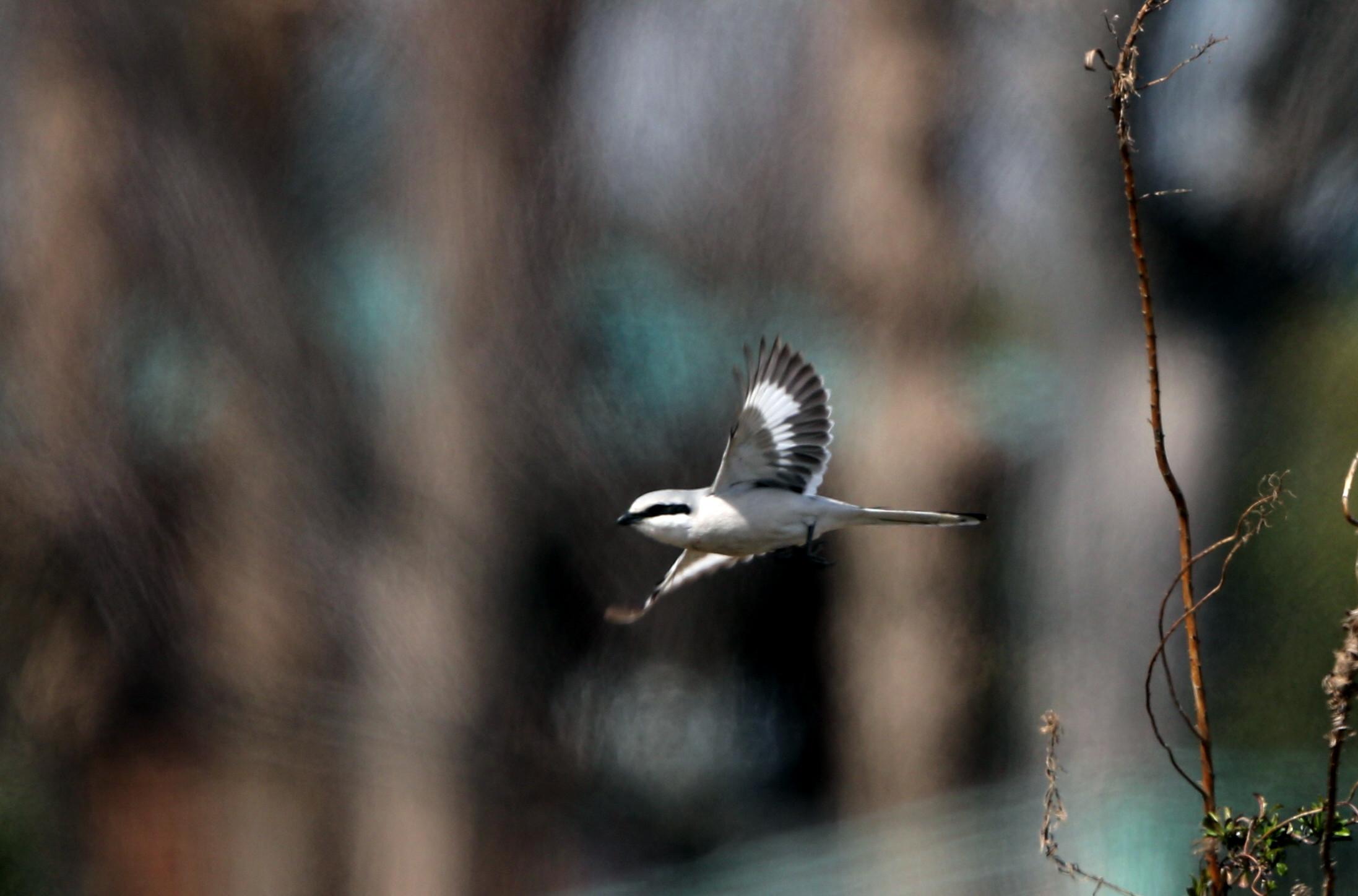 珍鳥オオカラモズに逢いに出かけてきました_f0239515_18404552.jpg