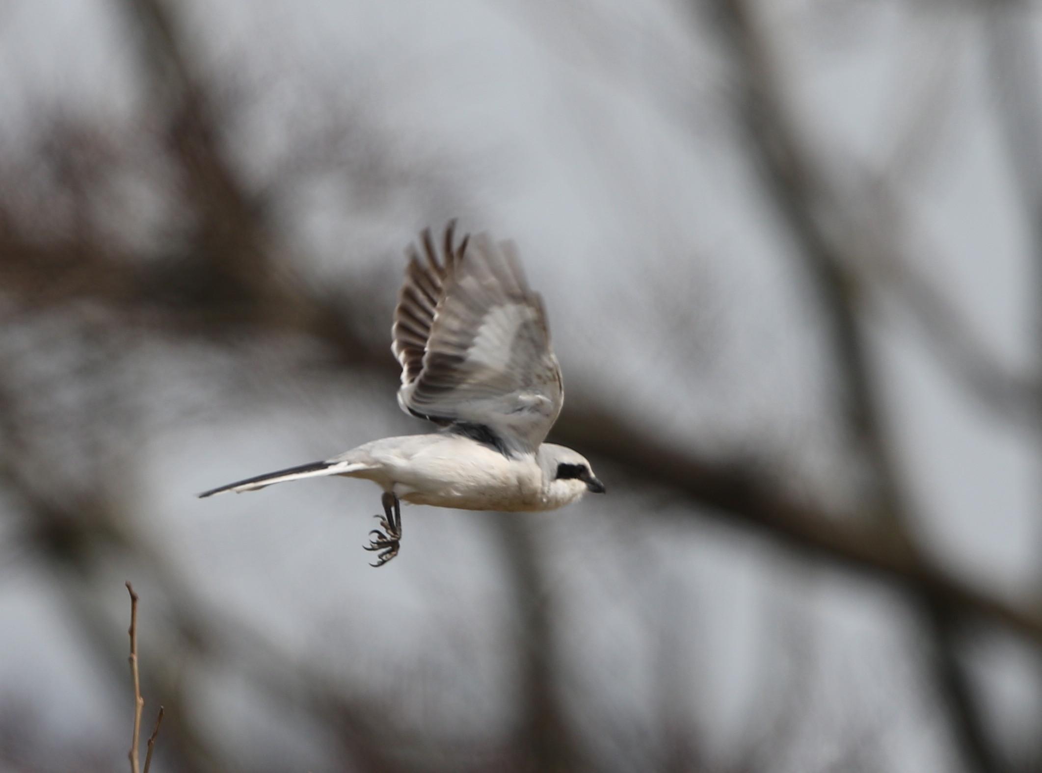 珍鳥オオカラモズに逢いに出かけてきました_f0239515_1842115.jpg