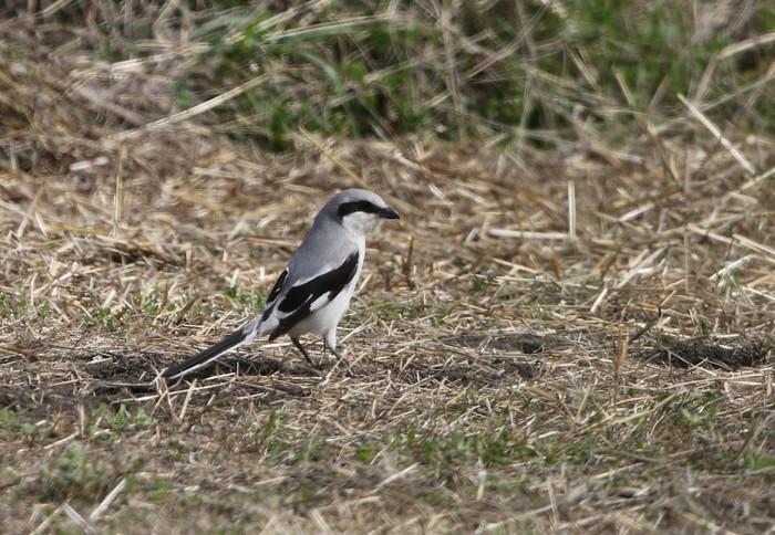 珍鳥オオカラモズに逢いに出かけてきました_f0239515_18433759.jpg