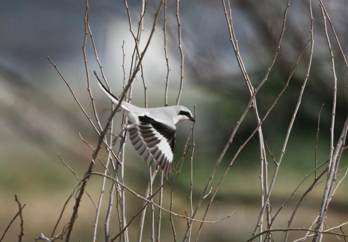 珍鳥オオカラモズに逢いに出かけてきました_f0239515_18441383.jpg