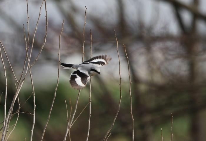 珍鳥オオカラモズに逢いに出かけてきました_f0239515_18481561.jpg