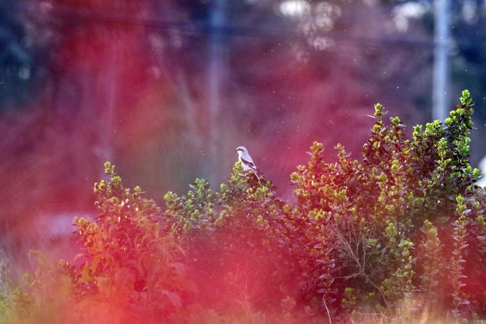 珍鳥オオカラモズに逢いに出かけてきました_f0239515_18494985.jpg