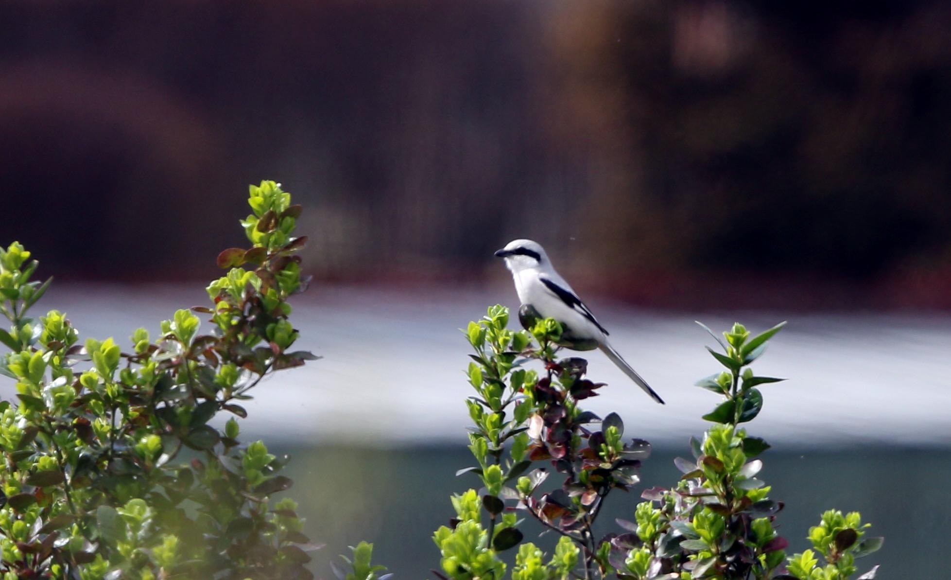 珍鳥オオカラモズに逢いに出かけてきました_f0239515_2114593.jpg