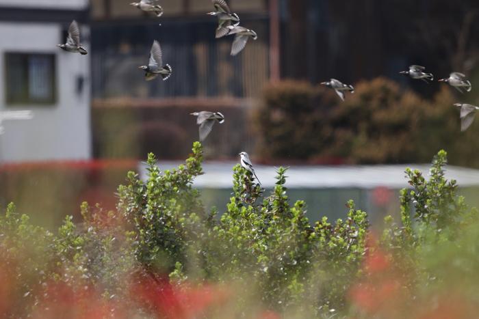珍鳥オオカラモズに逢いに出かけてきました_f0239515_2121630.jpg
