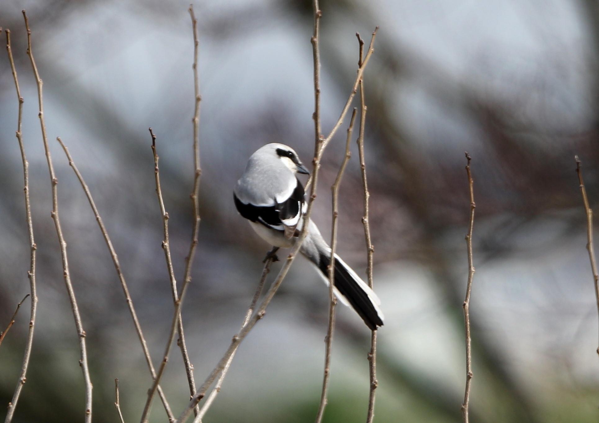 珍鳥オオカラモズに逢いに出かけてきました_f0239515_2125844.jpg