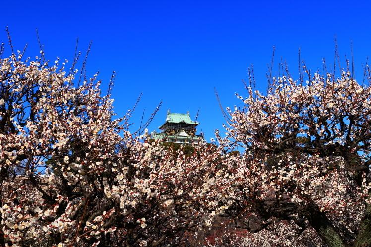 青空の大阪城梅林_f0209122_14150434.jpg
