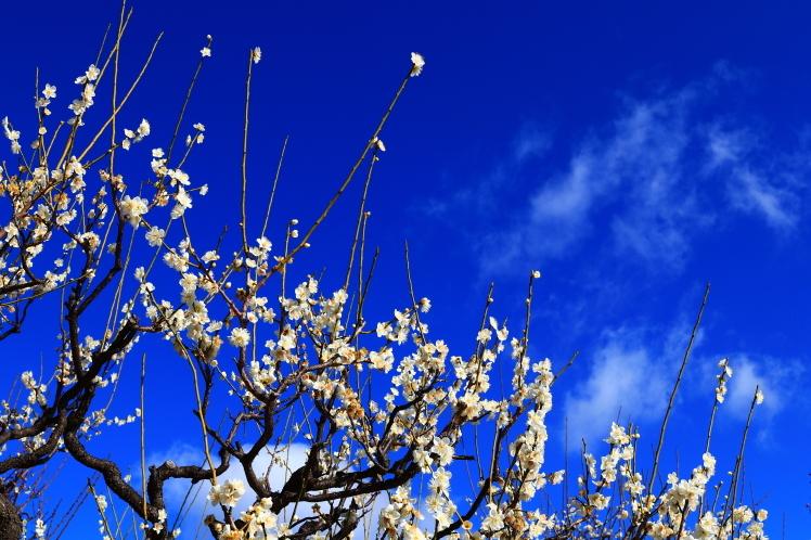 青空の大阪城梅林_f0209122_14154513.jpg