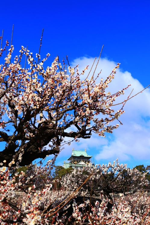 青空の大阪城梅林_f0209122_14163312.jpg