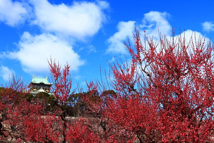青空の大阪城梅林_f0209122_14164471.jpg