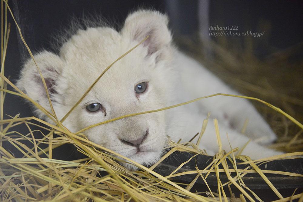 2020.3.8 東北サファリパーク☆ホワイトライオンのいっきゅう君【White lion baby】_f0250322_2304026.jpg