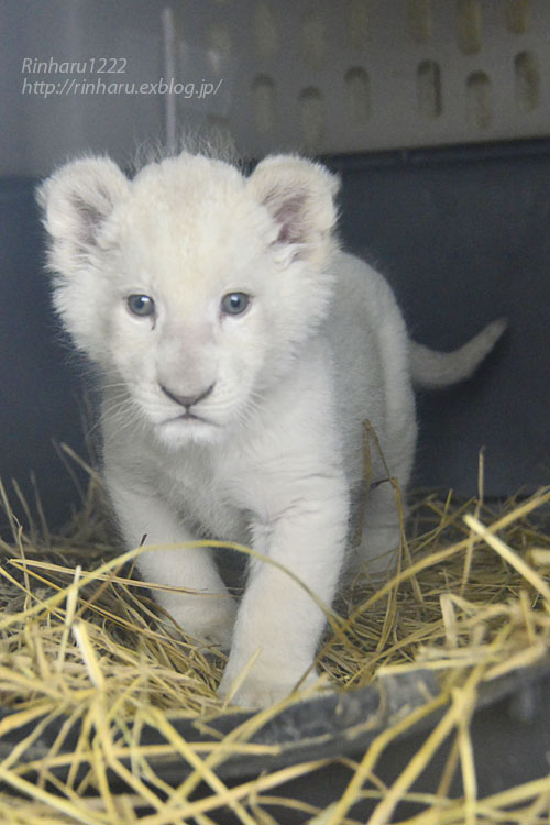 2020.3.8 東北サファリパーク☆ホワイトライオンのいっきゅう君【White lion baby】_f0250322_2304917.jpg