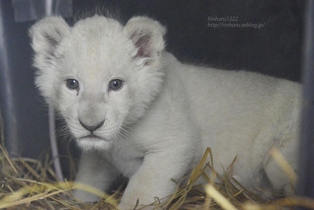 2020.3.8 東北サファリパーク☆ホワイトライオンのいっきゅう君【White lion baby】_f0250322_2305686.jpg