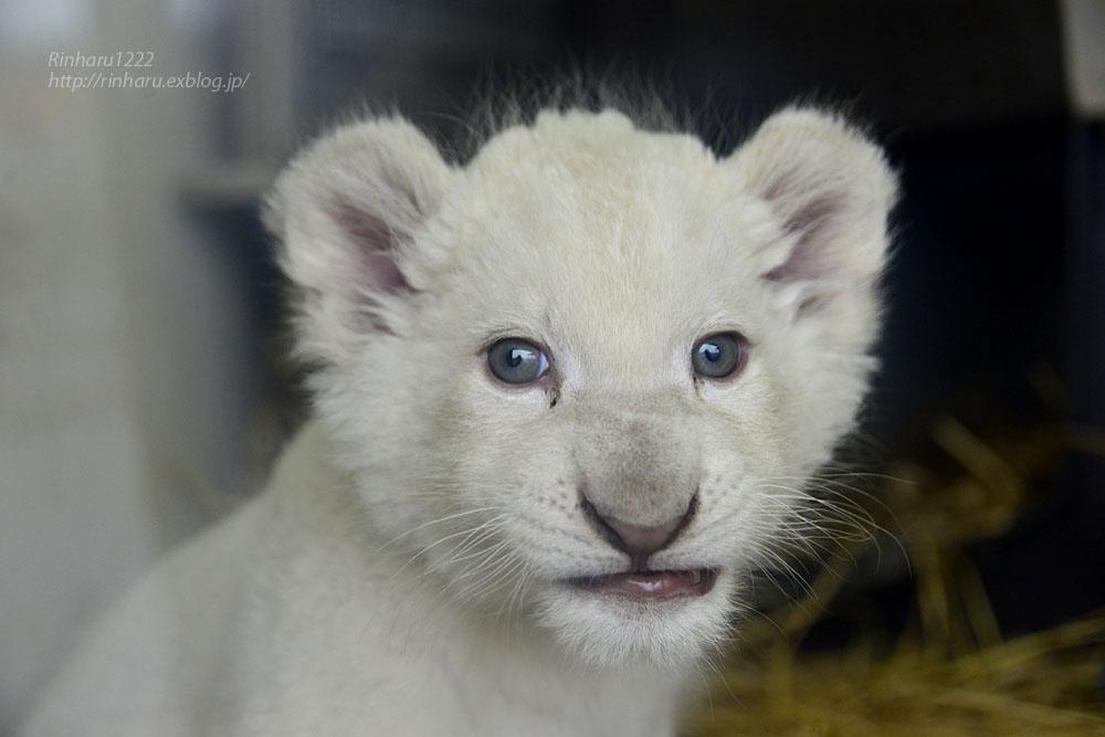 2020.3.8 東北サファリパーク☆ホワイトライオンのいっきゅう君【White lion baby】_f0250322_2311029.jpg