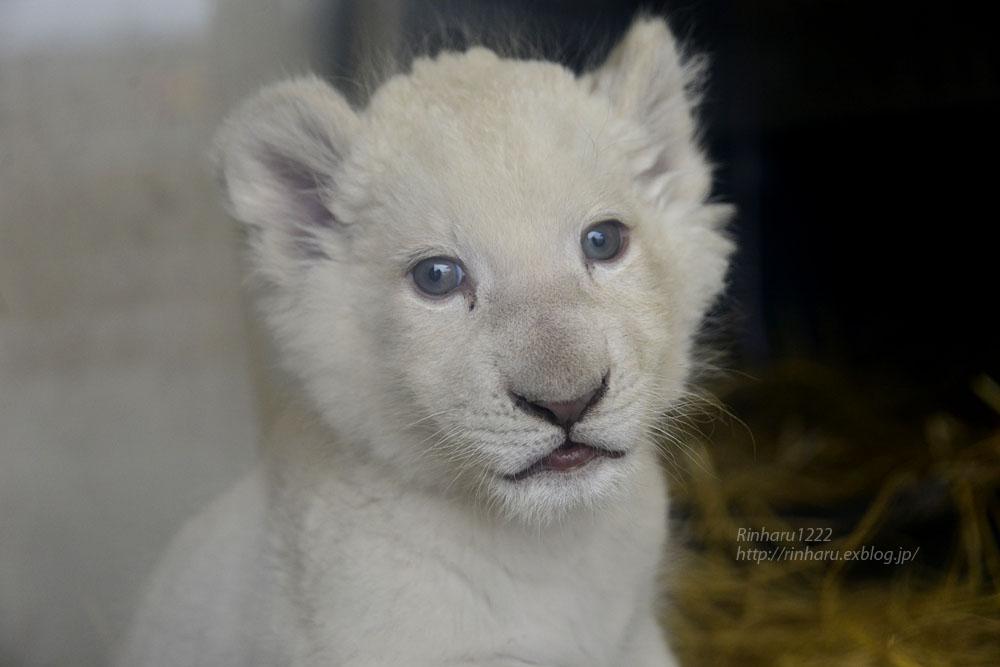 2020.3.8 東北サファリパーク☆ホワイトライオンのいっきゅう君【White lion baby】_f0250322_2311843.jpg