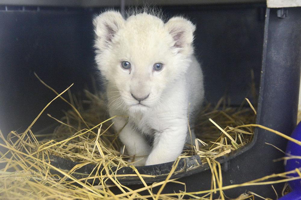 2020.3.8 東北サファリパーク☆ホワイトライオンのいっきゅう君【White lion baby】_f0250322_2312676.jpg