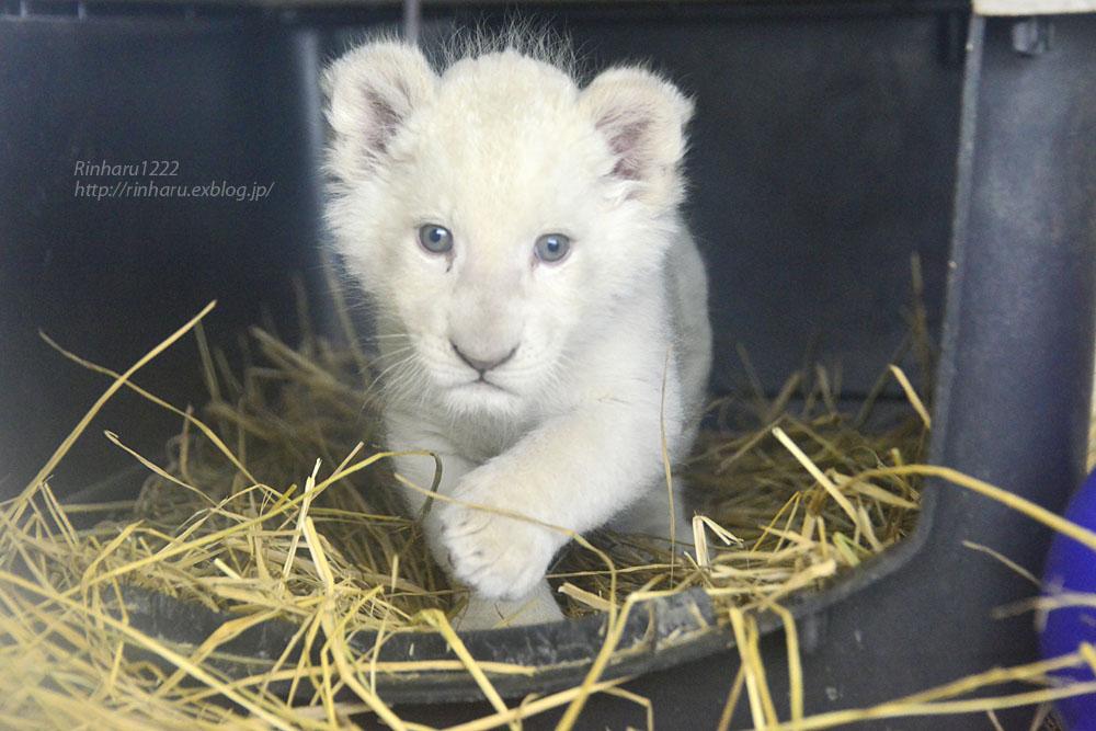 2020.3.8 東北サファリパーク☆ホワイトライオンのいっきゅう君【White lion baby】_f0250322_2313459.jpg